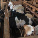 Simulasi Beternak Domba Dan Kambing Dengan Kebun Rumput