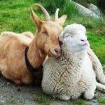 Harga Domba & Kambing Qurban Tahun 2020 Terbaru (Harga TERUPDATE)